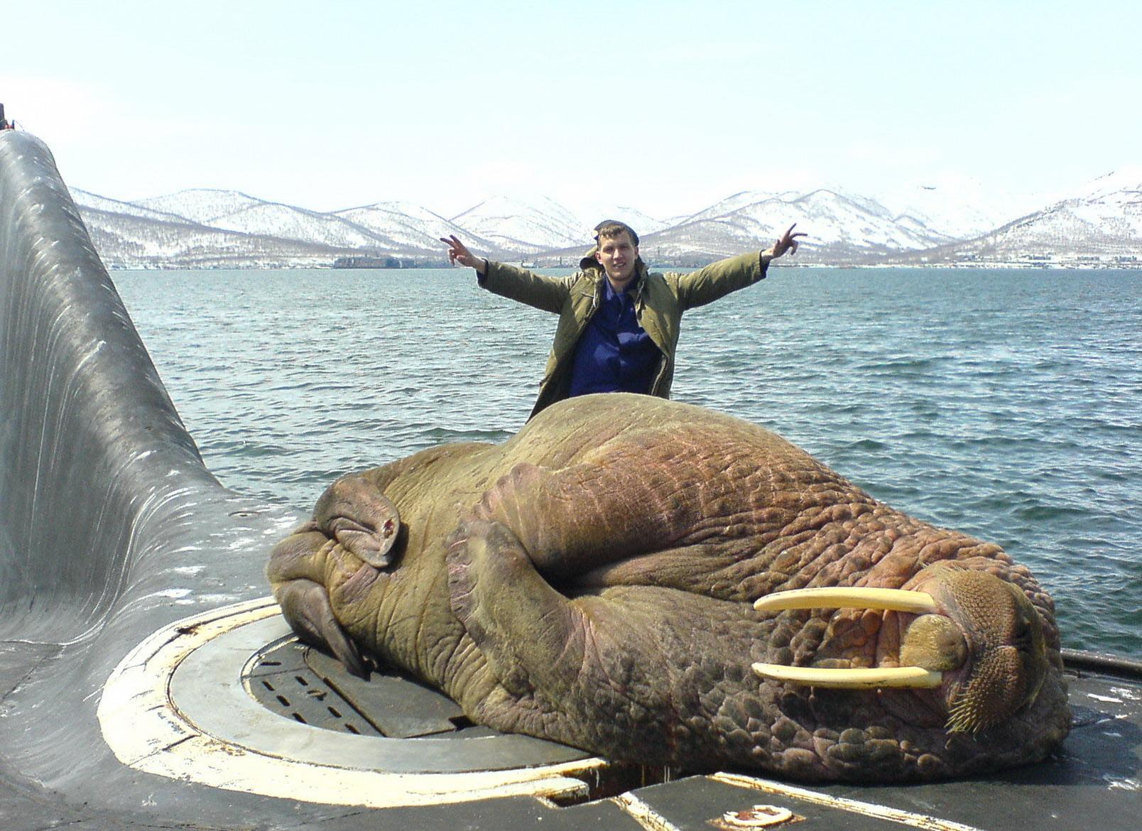 морж уснул на подводной лодке